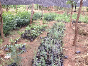 nym and medicinal trees in nursery