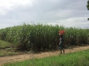 sugar farming